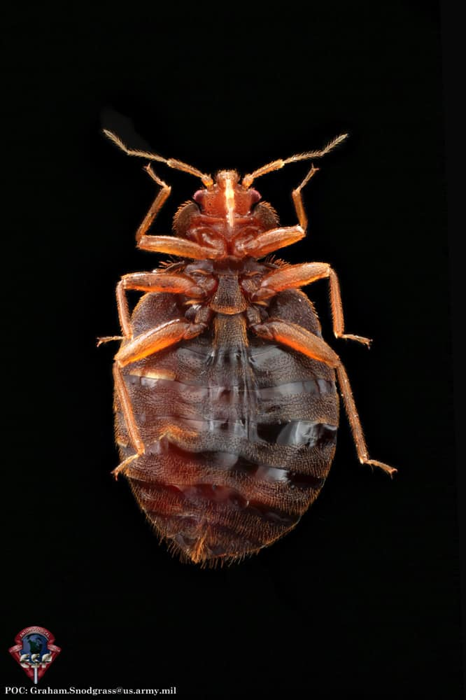 Bed Bug Life Cycle \u2013 A Guide to All Stages PestSeek