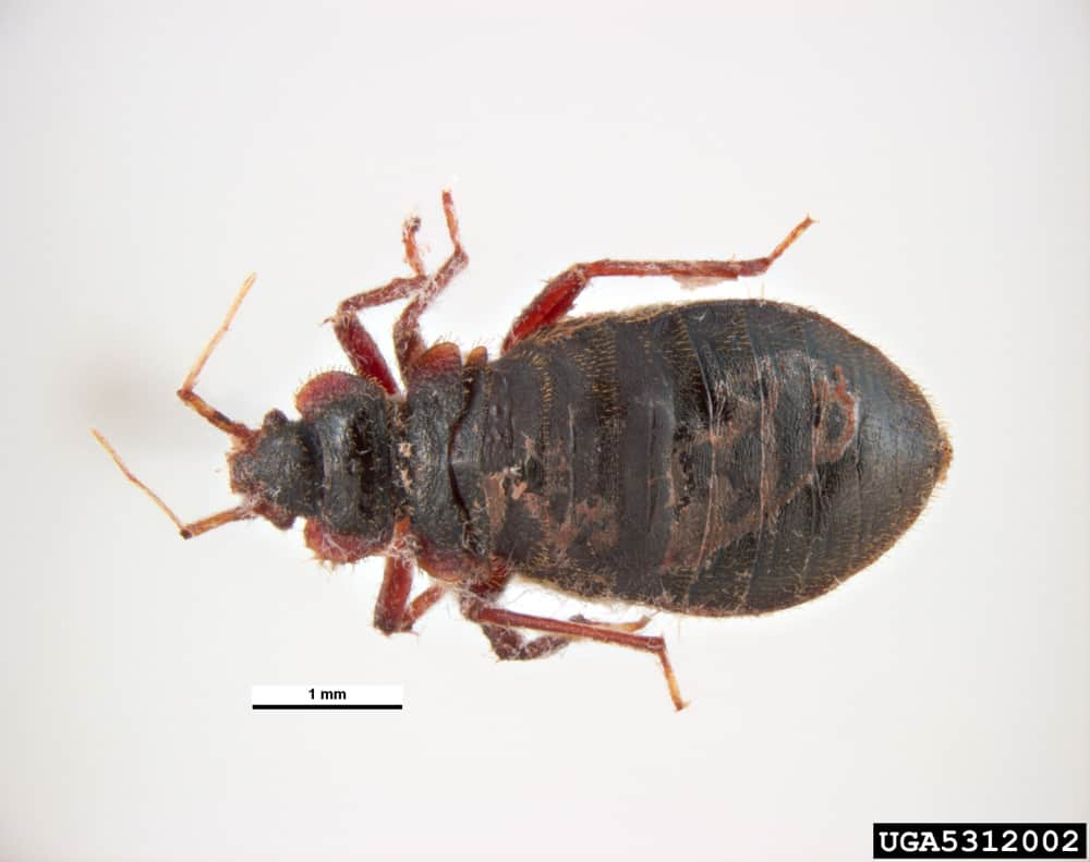 Images Of Bed Bugs Can You See Bed Bugs With The Naked Eye Pestseek