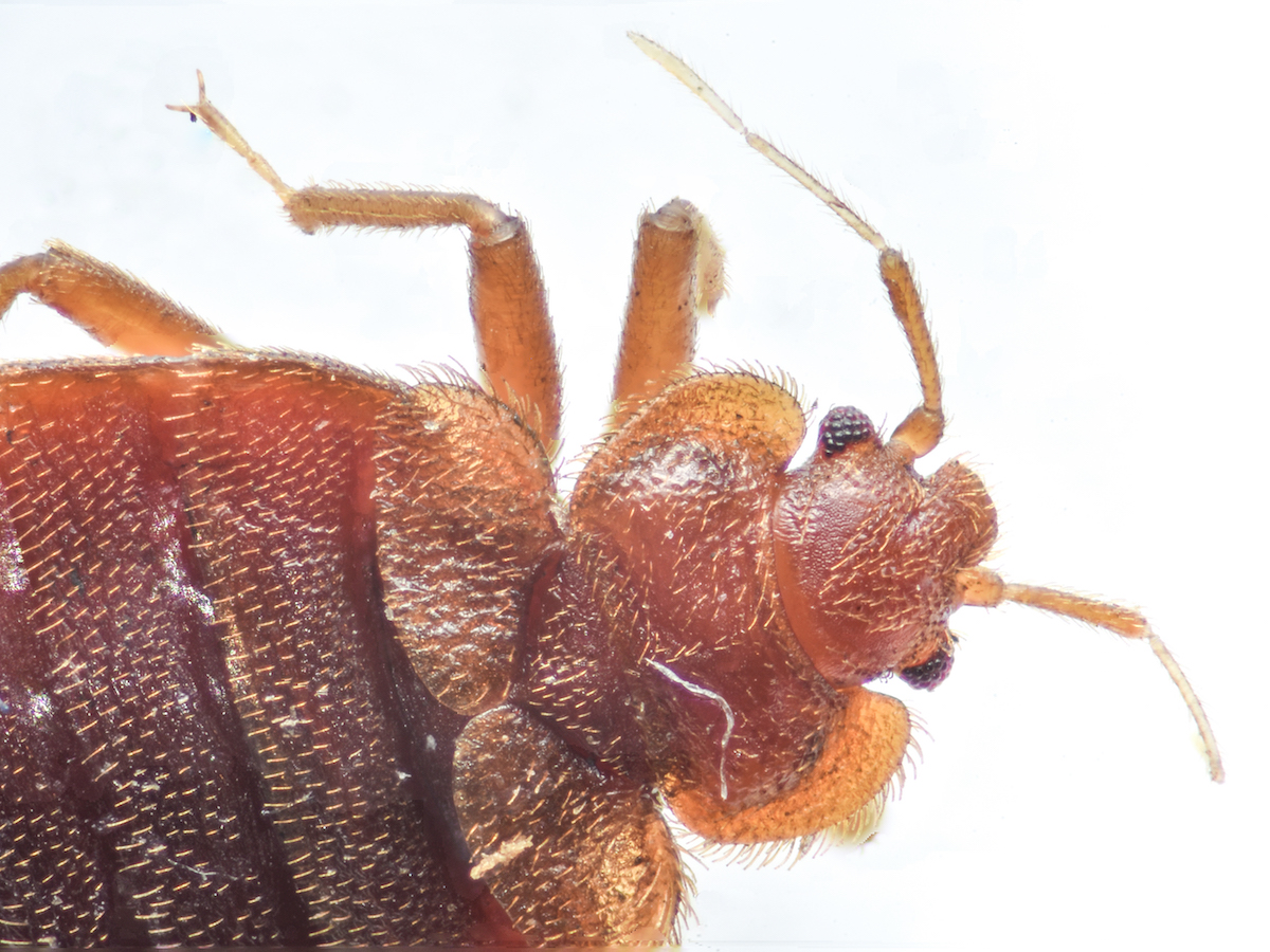 Images Of Bed Bugs Where Do Bed Bugs Come From Identify Bed Bugs Info