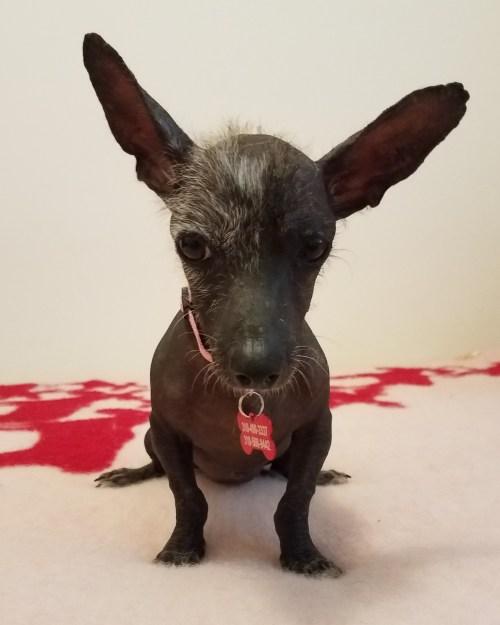 High Los Ca Meet Godiva A Dog Los Ca Meet Godiva A Dog Mexican Hairless Dog Breeds Mexican Street Dog Breeds