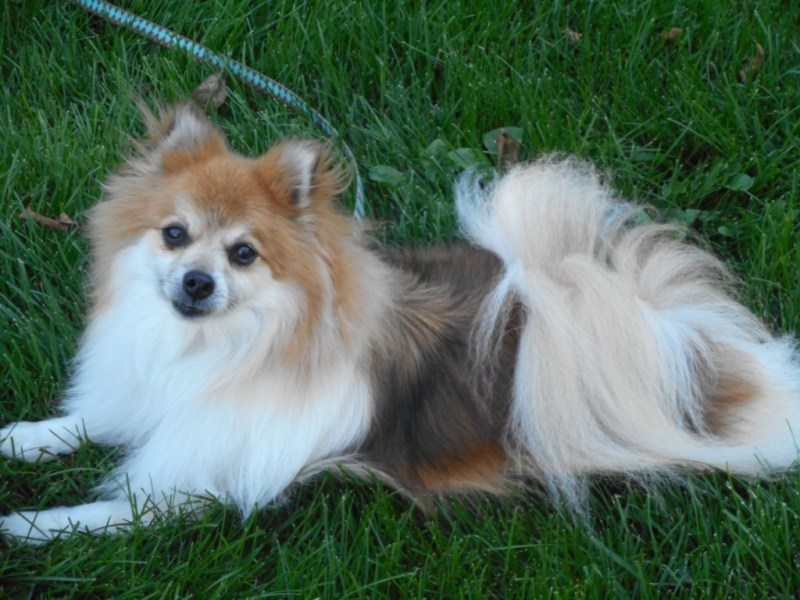 Large Of Do Pomeranians Shed