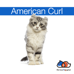American-curl-pet-care-hospital