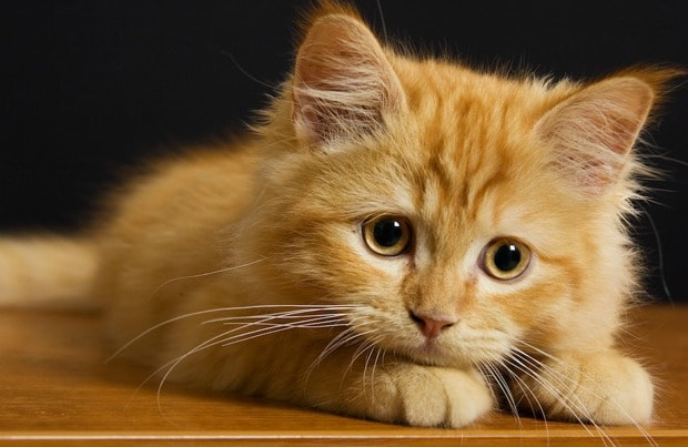 Cat Breeds That Stay Small \u2014 Pet Central by Chewy