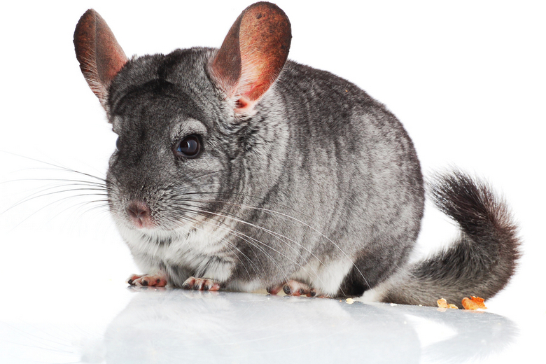 Chinchilla Breeds, Types  Colors Pet Comments
