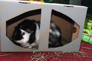 Shoe Box Guinea Pig Play House Petdiyscom