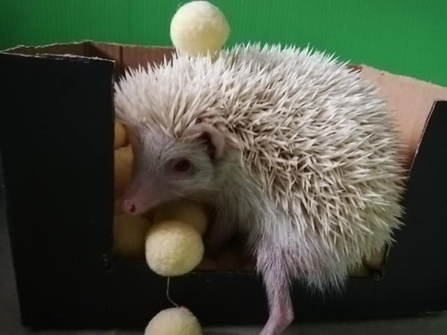 Serenia Hills Hedgehog Small & Furry Adopted - 1 Year 8 Months, Albino