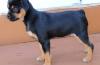rottweiler puppies features