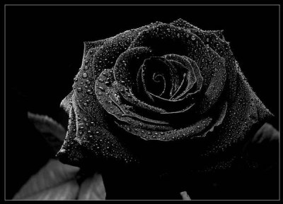 Poetry: Black Rose | petitemagique