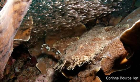 Wobbegong ou requin-tapis barbu. Raja Ampat, Papouasie, Indonésie. Mars 2012.