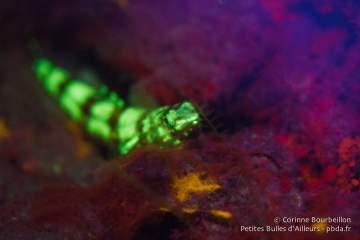 Sous la lumière bleue, le poisson-lézard devient vert fluo ! Raja Ampat, janvier 2015.
