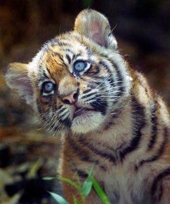 Cute Tiger Cubs Wallpapers 9 Bebe Tigre