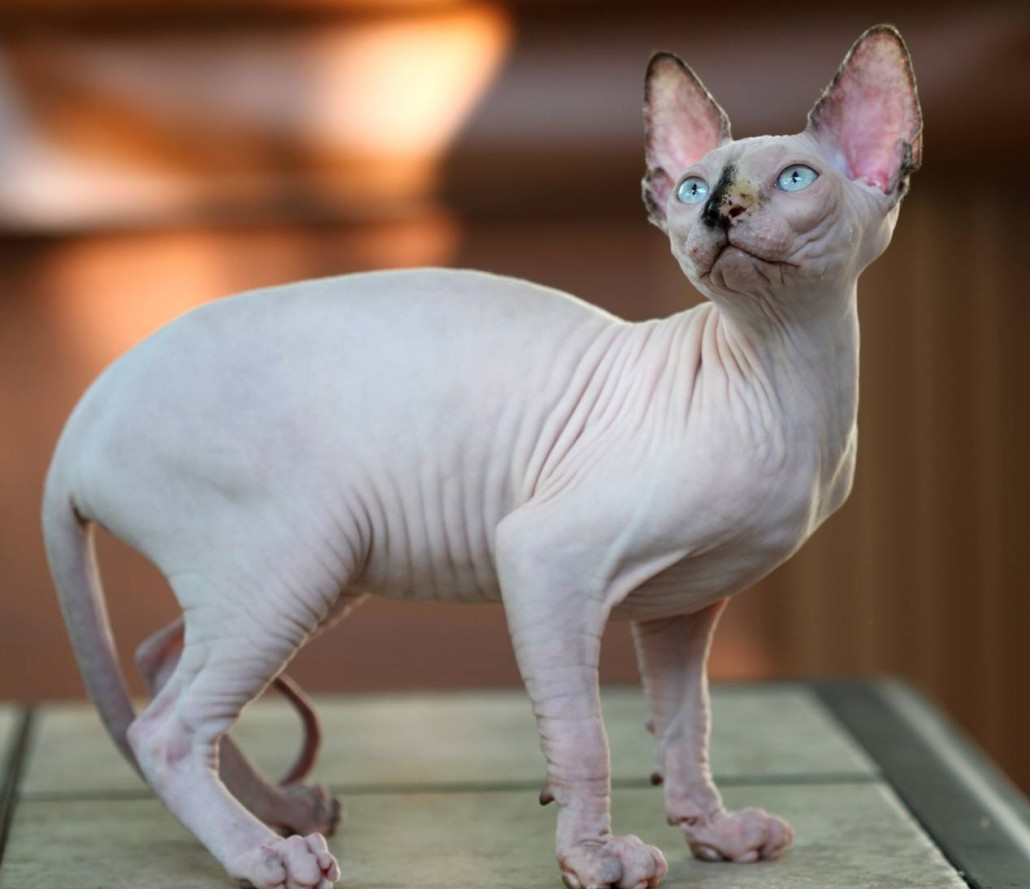 Sfinx Kat Sphynx Information Health Pictures And Training Pet Paw