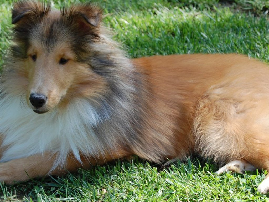 Relax Couch Shetland Sheepdog Breed Guide - Learn About The Shetland