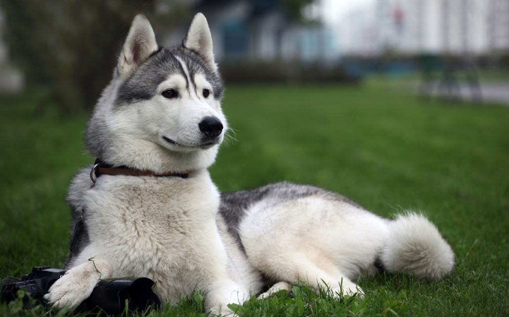 Doberman 4 Meses Siberian Husky Breed Guide - Learn About The Siberian Husky.