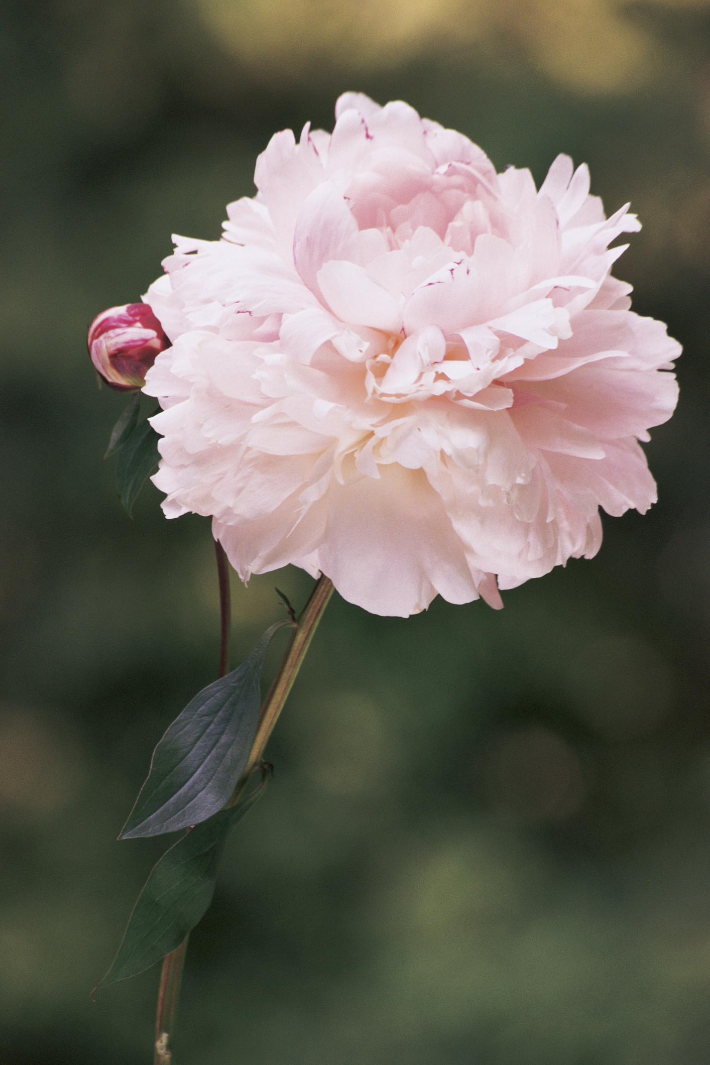 Pianese Flowers Peony Pet Poison Helpline