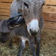 pender-county-animal-shelter-donkey