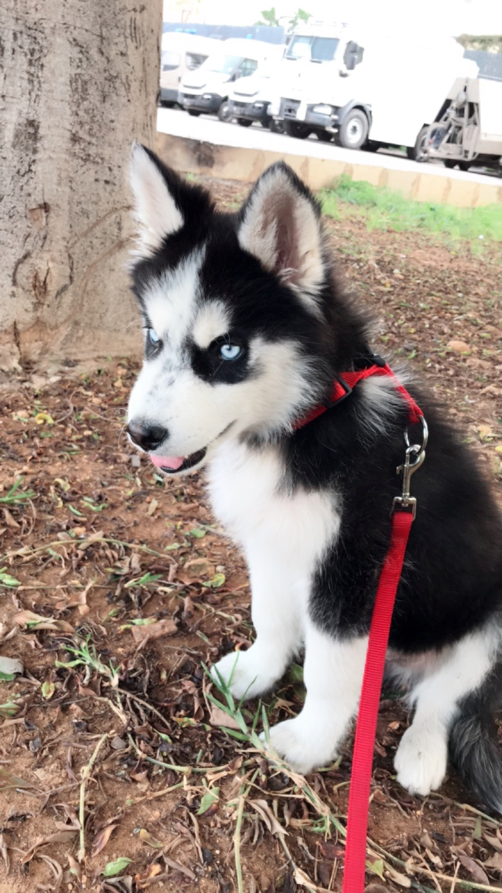 Husky Price Buy Sell Pets In Lebanon