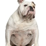 English Bulldog, 6 years old, sitting in front of white background