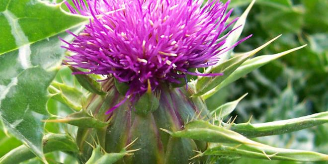 Milk Thistle for Dogs: The Best Natural Treatment for Liver Disease?