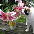 lily poisoning cats