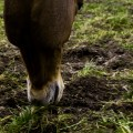 worms in horses