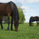 milkweed poisoning in horses