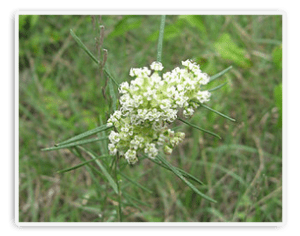 whorled milkweed poisoning