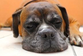 Canine Gastritis and Gastroenteritis