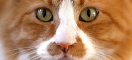 Feline Lower Urinary Tract Disease (FLUTD)