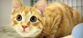 Feline Upper Respiratory Tract Infections (Cat Flu)