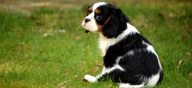 Proposed Guidelines for Breeders to Reduce Instance ofSyringomyelia in Toy Breeds