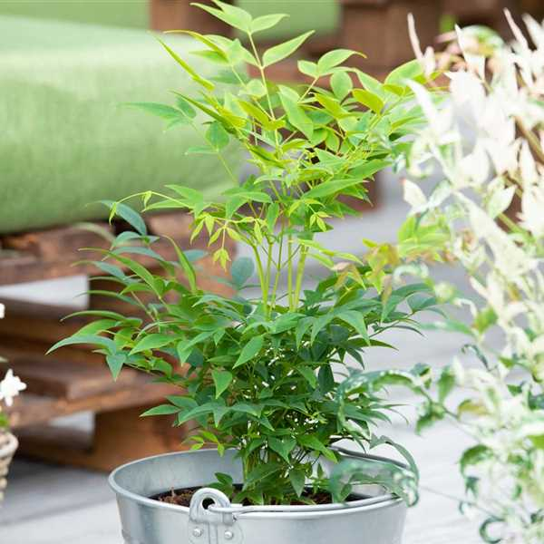 Nandina Domestica 39 Magical Lemon Lime 39 Heiliger Bambus