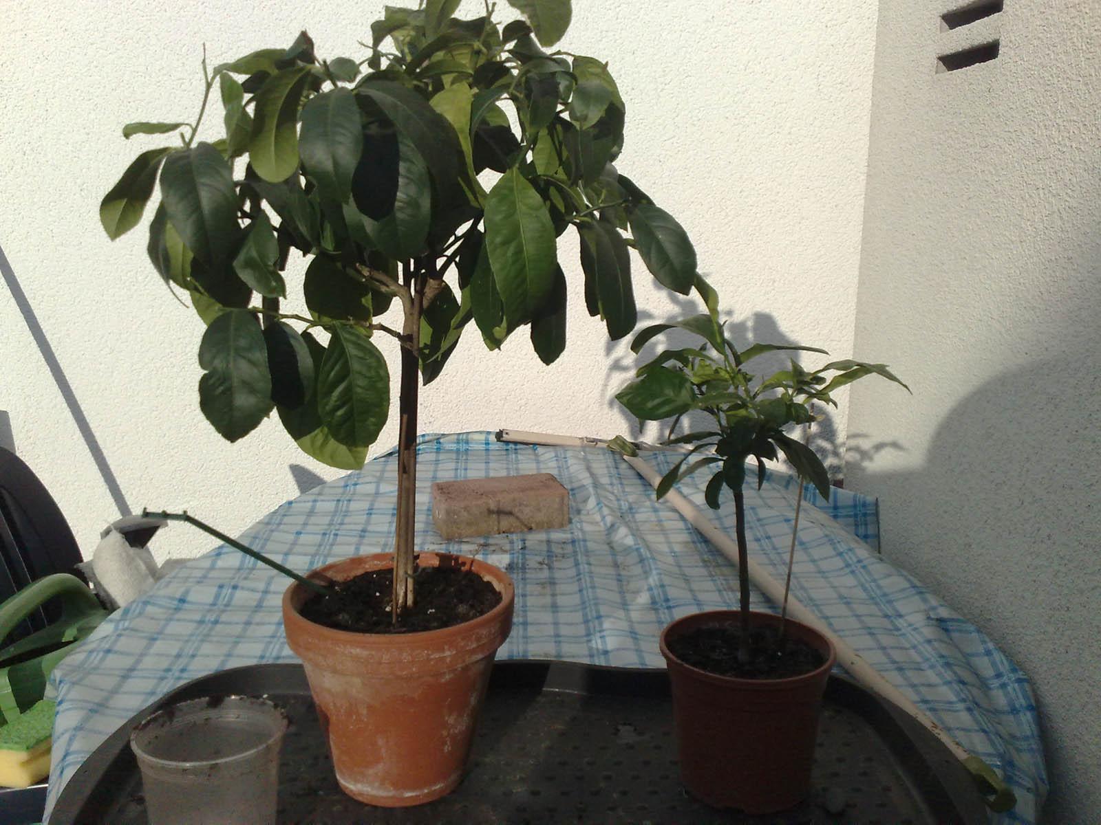 avocado pflanze pflege birkenfeige ficus benjamina verliert bl tter pflege. Black Bedroom Furniture Sets. Home Design Ideas