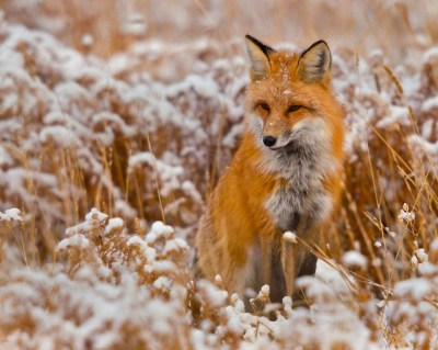 The red fox (Vulpes vulpes). | PARENTS ALLIANCE OF PRINCE GEORGE'S COUNTY, MARYLAND