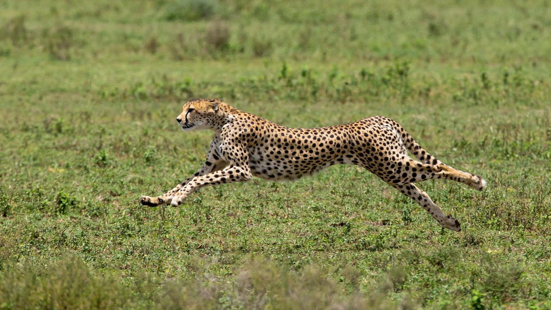 Black Panther Animal Wallpaper Cheetah Acinonyx Jubatus Help Change The World The
