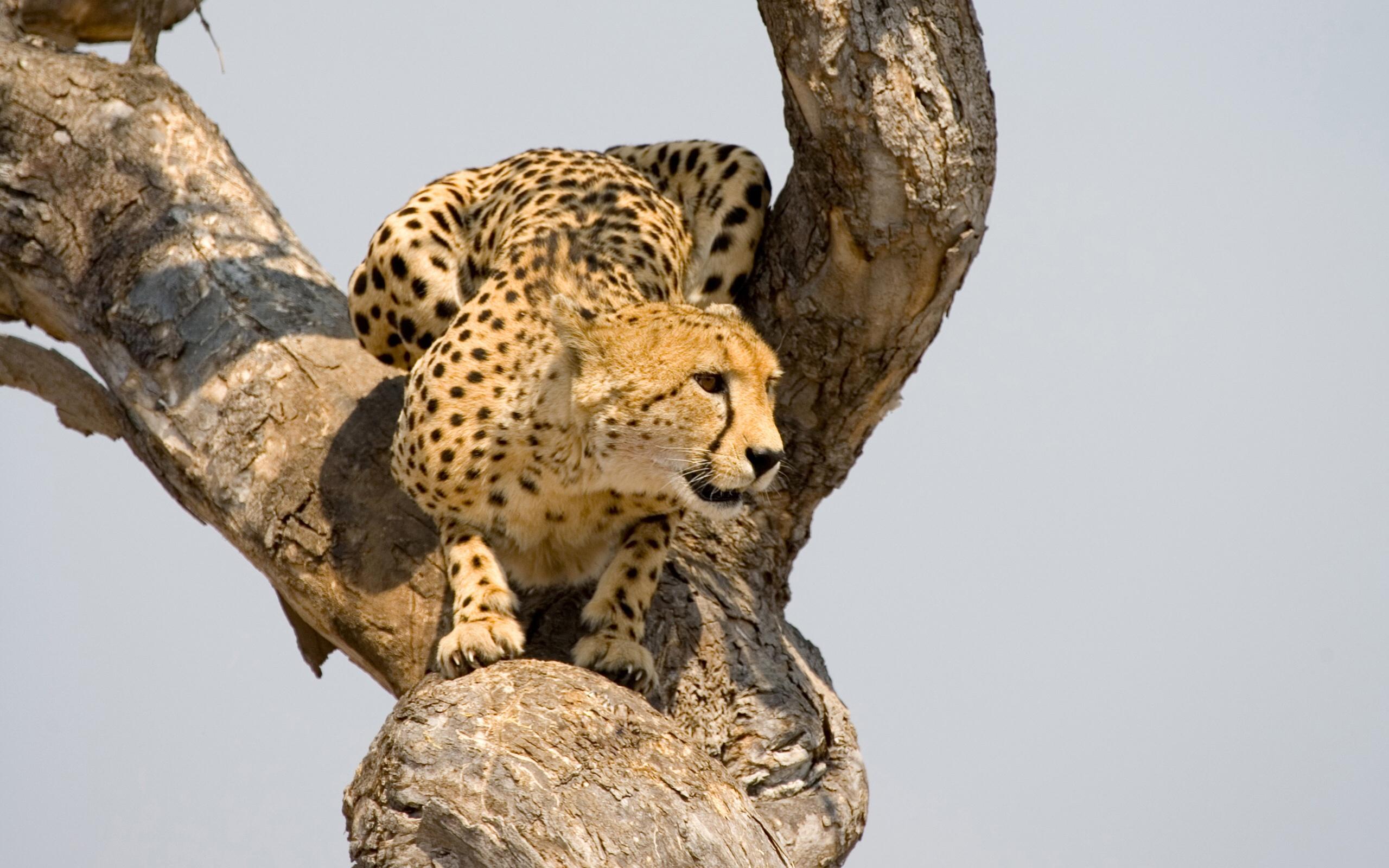 Cheetah Wallpaper Hd Cheetah Acinonyx Jubatus Pgcps Mess Reform Sasscer