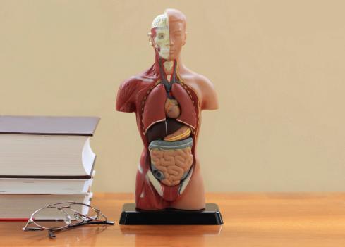 small intestines