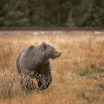 Philip kanwischer photography grizzly bear