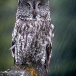 Philip kanwischer photography great grey owl