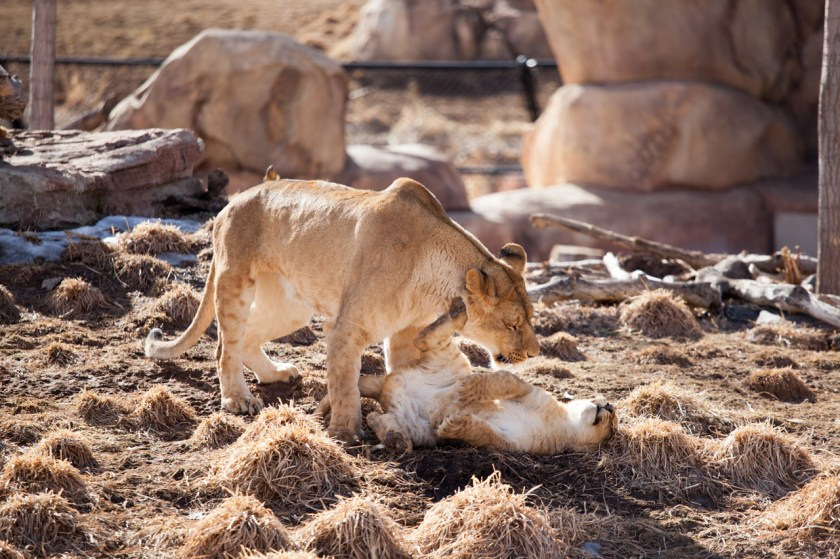 A lion cub and his aunt