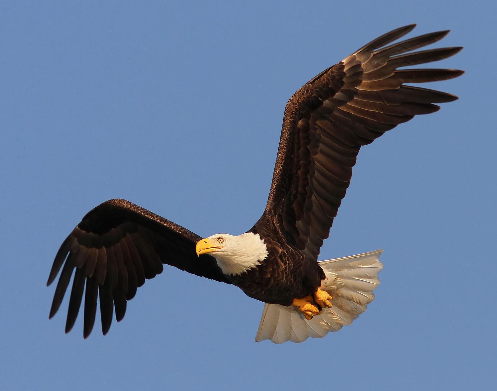 Tuxedo Wallpaper Hd Bald Eagle Photos Phil Lanoue Photography