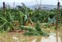 banana plantation damage