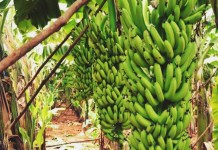 philippine farmers banana industry