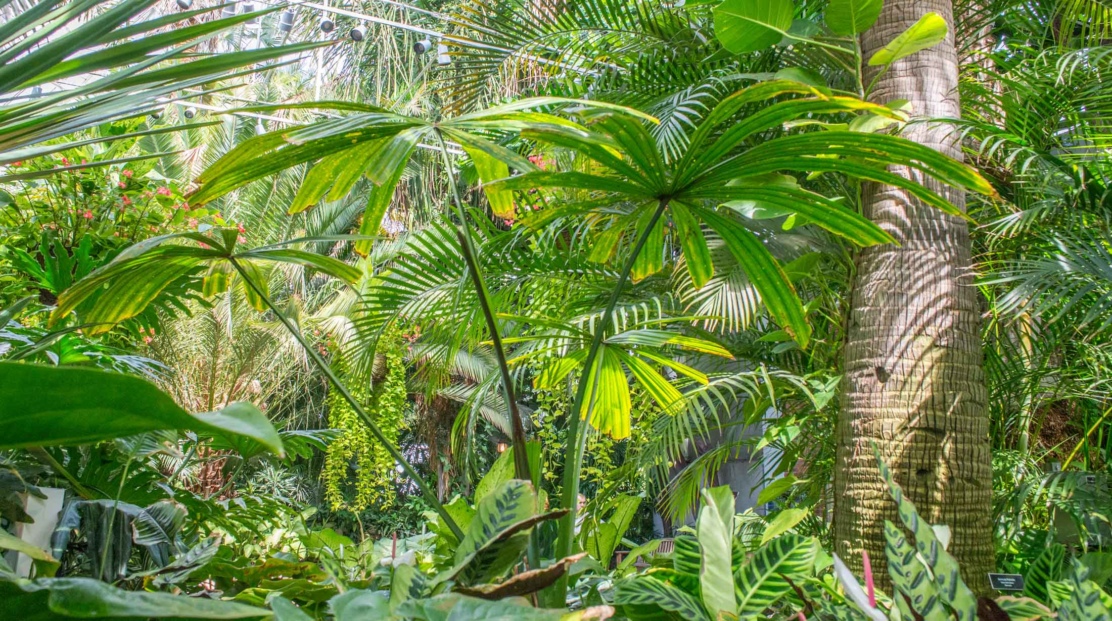 Areca Palm Australia Plant Collections Phipps Conservatory And Botanical