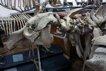 Скелет морської корови Hydrodamalis gigas (Zimmermann, 1780)