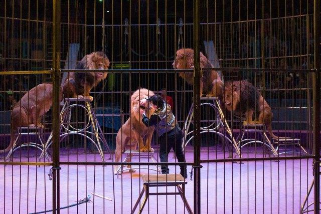 Дресировані леви під керівництвом Тайро Кароллі