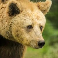 Urșii din sanctuarul Libearty de la Zărnești