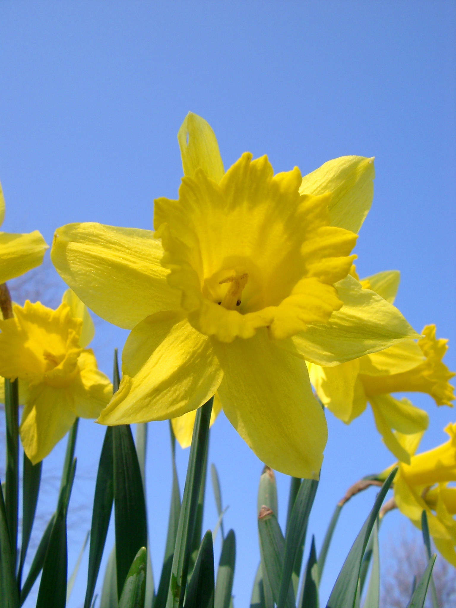 Daffodils Wallpaper Hd Free Stock Photo Of Bright Yellow Daffodils Photoeverywhere