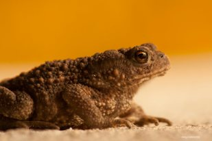 European Toad at Night