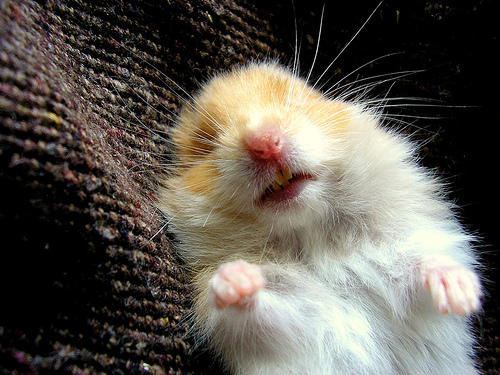 Cute Bees Wallpaper 25 Cute Hamster Pictures